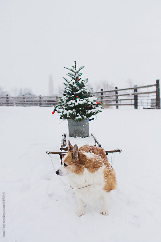 Corgi pretending to pull wooden sled with decorated tree by Tana Teel for Stocksy United