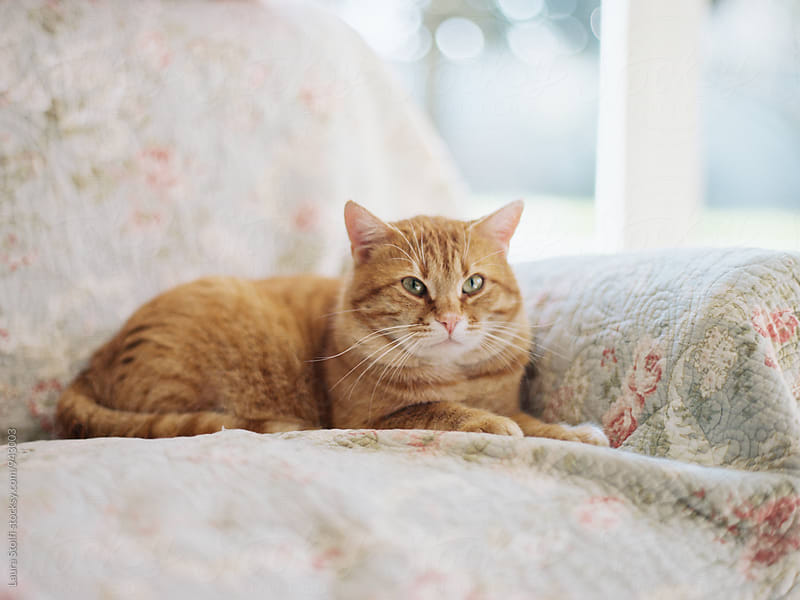 Red cat relaxing while laying on armchair close to glass door by Laura Stolfi for Stocksy United