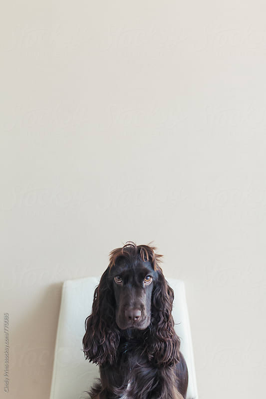 Brown English cocker spaniel dog ready for a haircut by Cindy Prins for Stocksy United