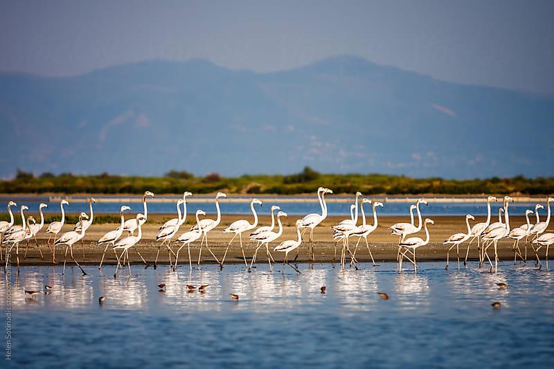 Flamingos by Helen Sotiriadis for Stocksy United