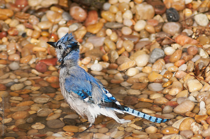 A wet blue jay standing in a shallow stream after a bath by David Smart for Stocksy United