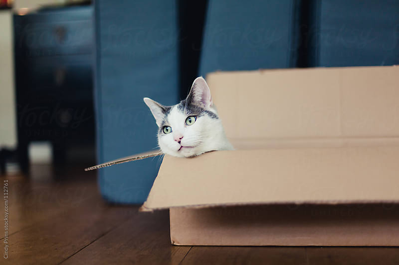 White and grey cat lying in a cardboard box by Cindy Prins for Stocksy United