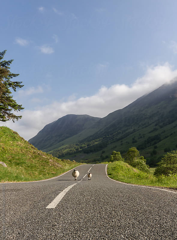 Two sheeps walking along a road in the scottish highlands by Leander Nardin for Stocksy United