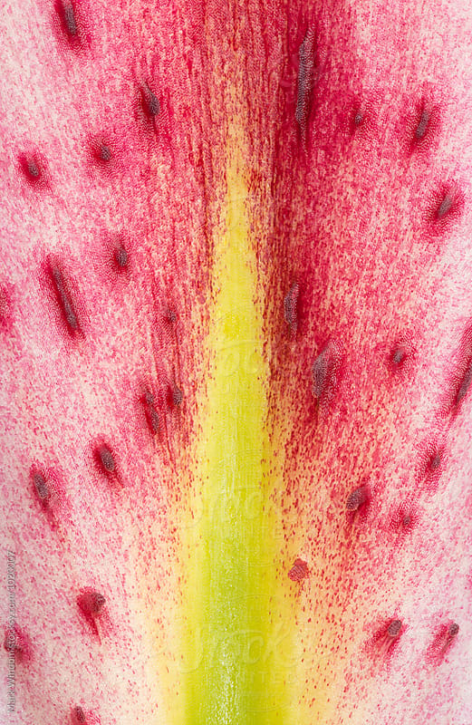 Lily petal detail, closeup by Mark Windom for Stocksy United
