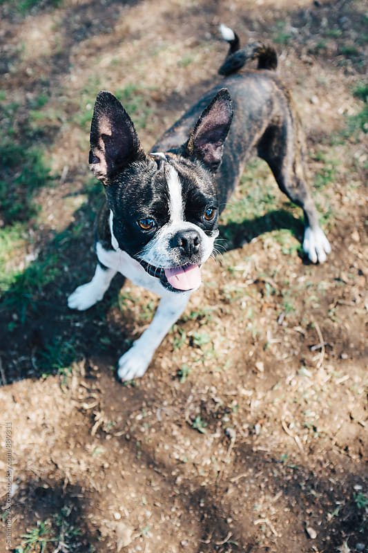 Bruce the Boston Terrier hot and playing. by Shannon Aston for Stocksy United