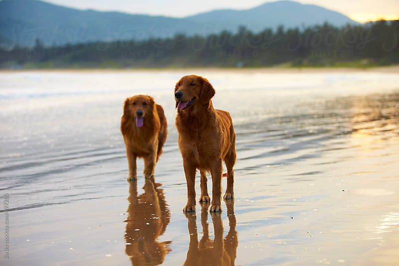 two Golden retrievers on the beach  by Bo Bo for Stocksy United