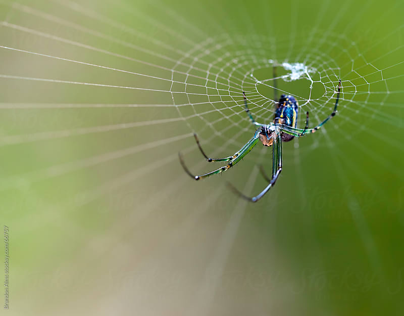 Orchard Spider Macro in its Web by Brandon Alms for Stocksy United