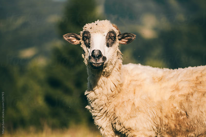 Portrait of a Sheep by Marija Savic for Stocksy United