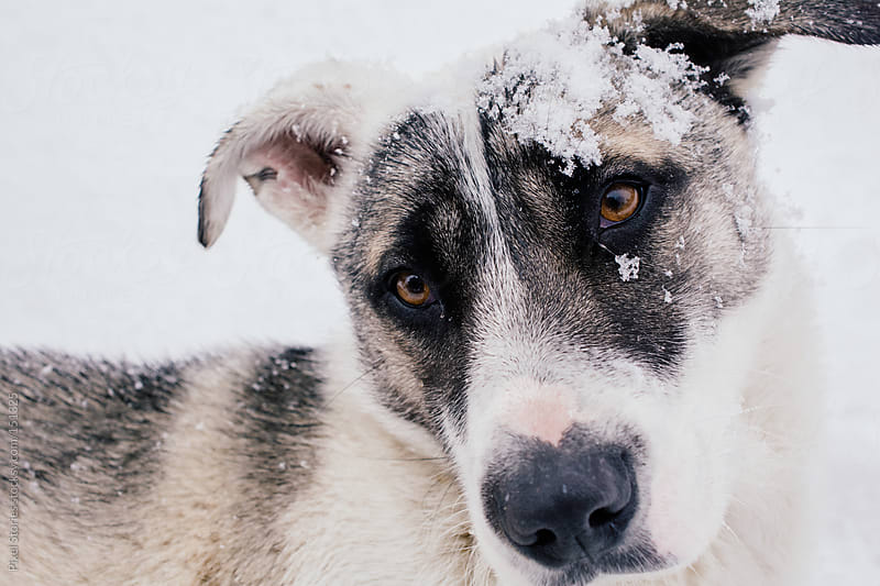 Snow-covered dog by Pixel Stories for Stocksy United