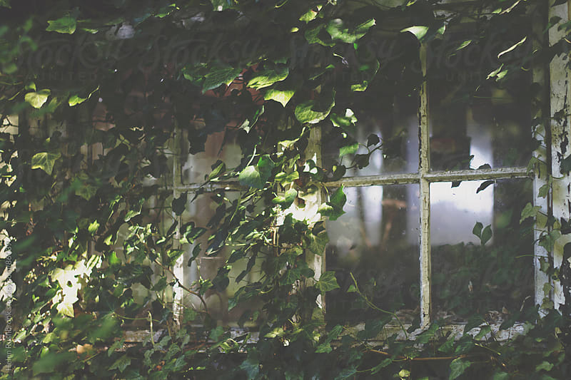 The windows on a derelict building covered with ivy by Helen Rushbrook for Stocksy United