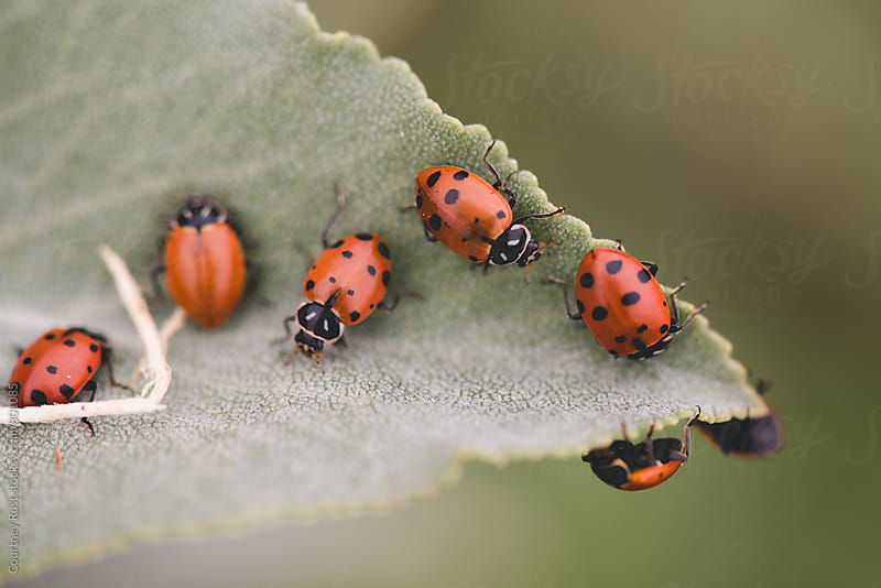 ladybugs in a line on a leaf by Courtney Rust for Stocksy United