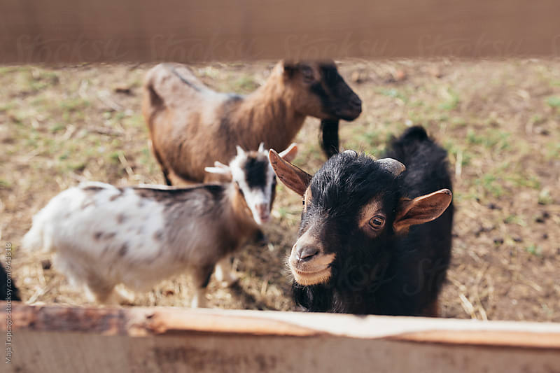 Goats outdoors by Maja Topcagic for Stocksy United