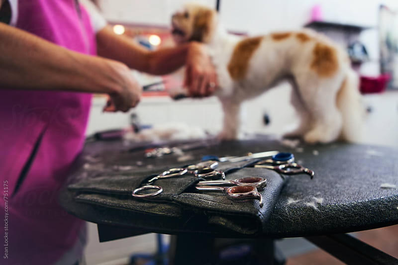 Groomer: Scissors Sit On Table While Groomer Trims Peekapoo by Sean Locke for Stocksy United