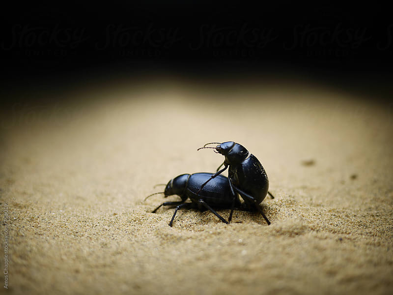 Two beetles mating in the desert by Amos Chapple for Stocksy United