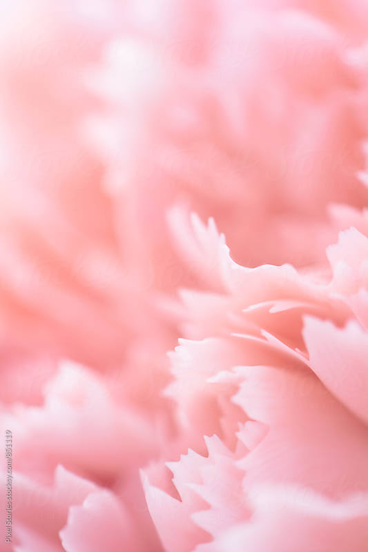 Rose quartz carnation flower petals by Pixel Stories for Stocksy United