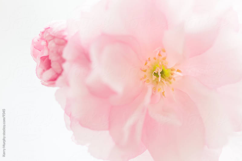 Macro of cherry blossom blooms in spring by Kerry Murphy for Stocksy United
