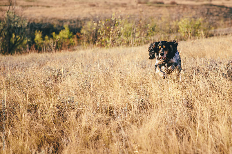 Playful Cocker Spaniel running through autumn field by Andrey Pavlov for Stocksy United