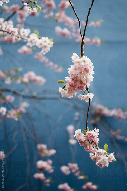 Cherry Blossom by Hung Quach for Stocksy United