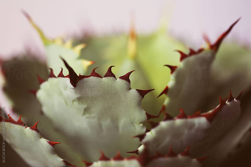 Close Up Of An Agave Plant With Sharp Thorns  by ALICIA BOCK for Stocksy United