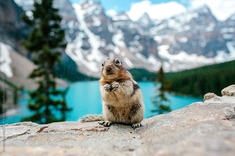 A chipmunk with a guilty face.  by Kristen Curette Hines for Stocksy United