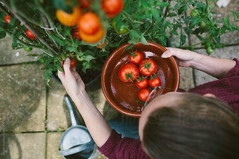 Gardener picking homegrown tomatoes  by kkgas for Stocksy United