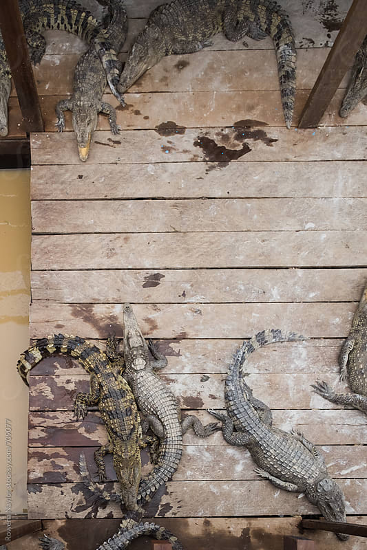 Crocodile Farm in Cambodia by Rowena Naylor for Stocksy United