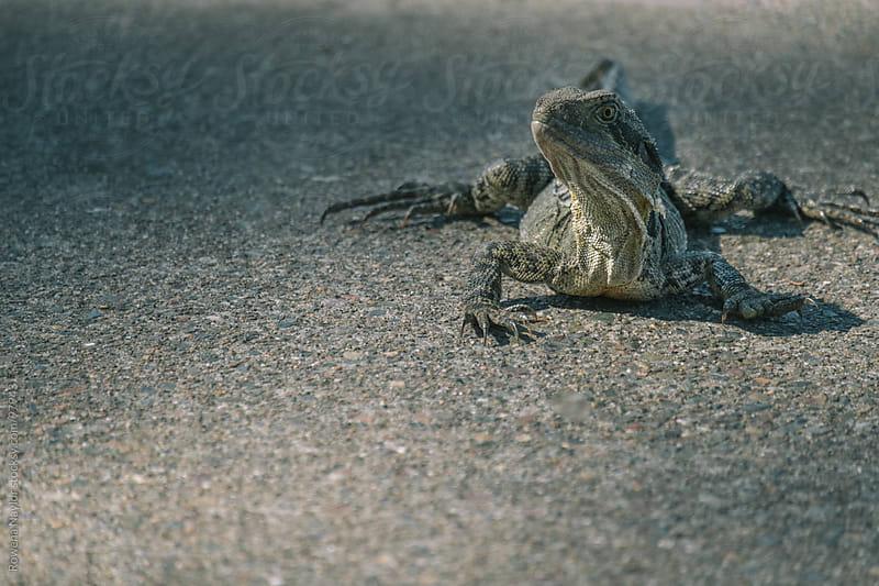 Frill-Neck Iguana by Rowena Naylor for Stocksy United