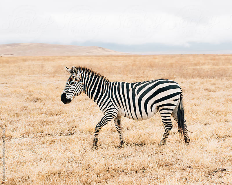 zebra walking in dry grass by Cameron Zegers for Stocksy United