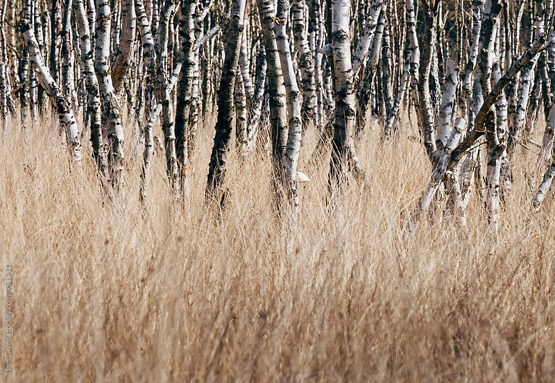 Sunlight on Birch trees among wild grass. Norfolk, UK. by Liam Grant for Stocksy United