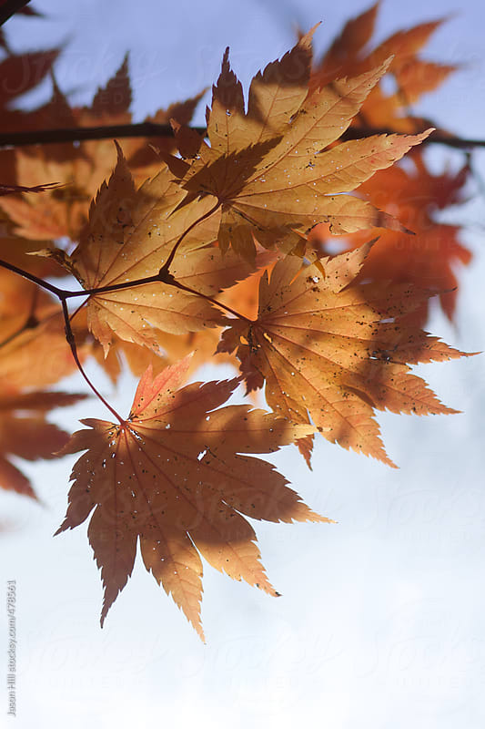 A Bunch of Golden Leaves in Autumn by Jason Hill for Stocksy United