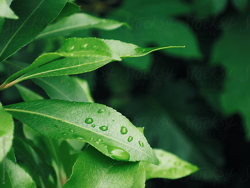 Green Leaves with Raindrops by B. Harvey for Stocksy United