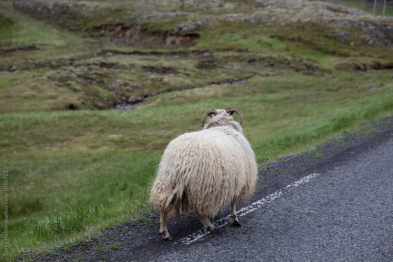 Sheep On A Road by Carey Haider for Stocksy United