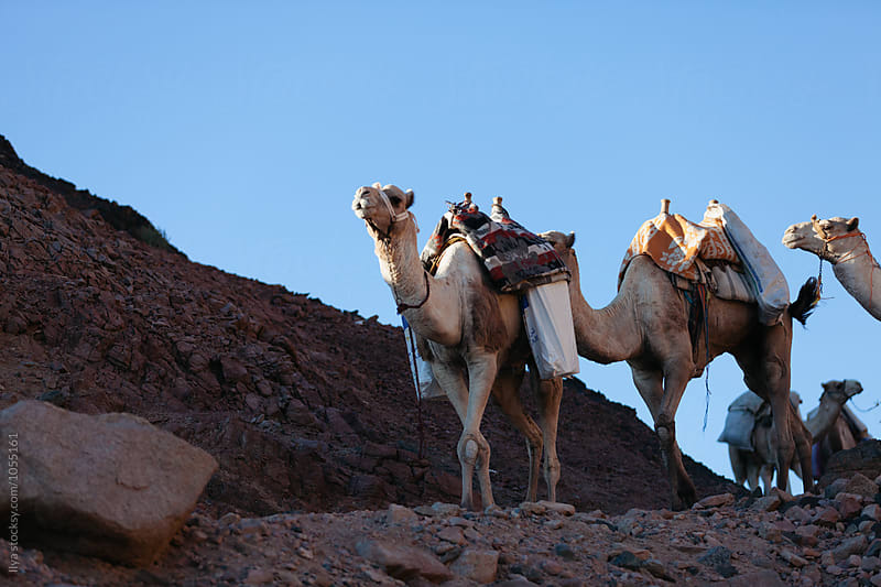 Camel caravan in Egypt Sinai desert by Ilya for Stocksy United