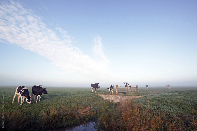 Holstein cow in a field, early morning by Marcel for Stocksy United