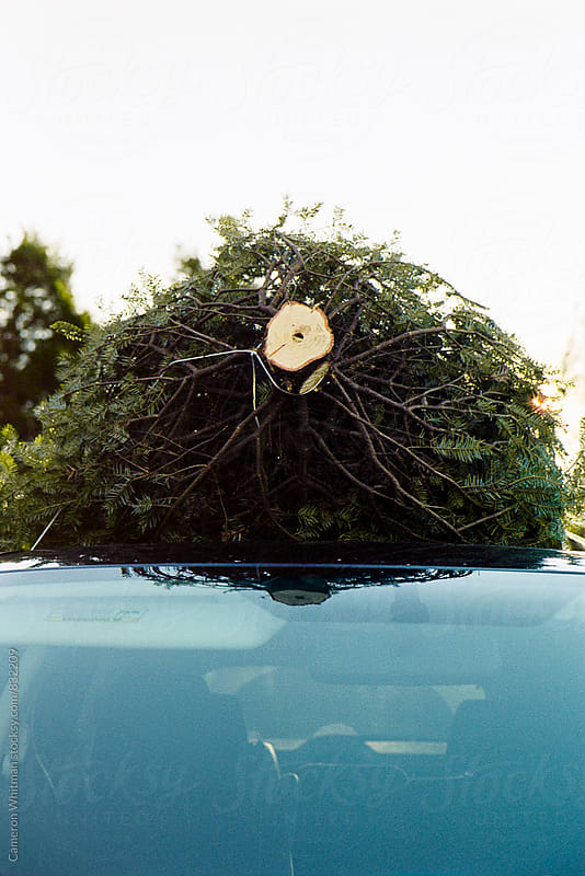 Christmas tree on the roof of a car  by Cameron Whitman for Stocksy United