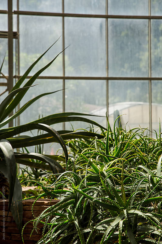 Aloe vera growing in a greenhouse by Jovo Jovanovic for Stocksy United