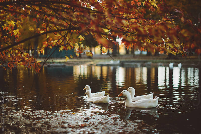 White Ducks in Fall by Kim Swain for Stocksy United