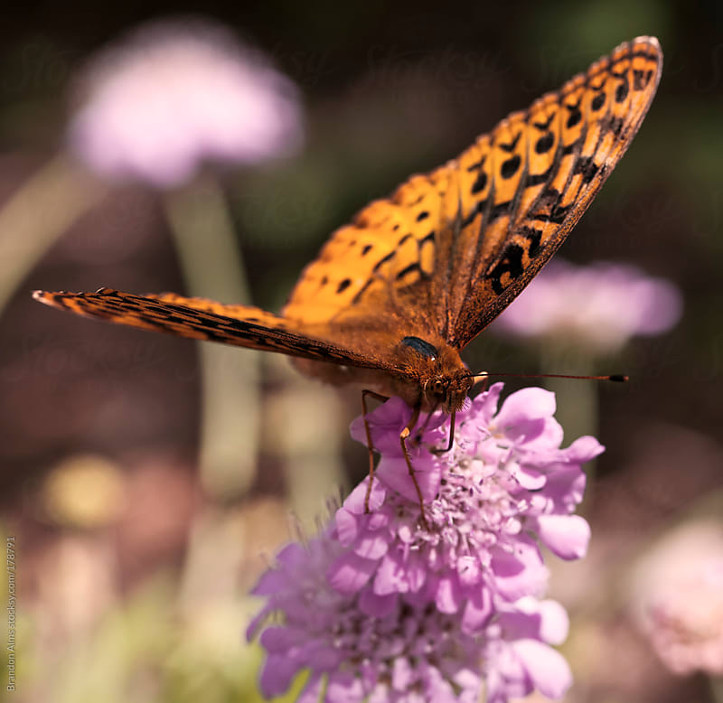 Fritillary Butterfly Closeup in a Field of Wild Flowers by Brandon Alms for Stocksy United