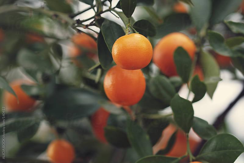 Orange Tree by ALICIA BOCK for Stocksy United