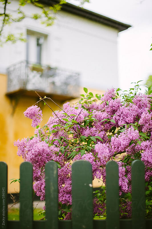 Lilac and green wooden fence. by Zocky for Stocksy United