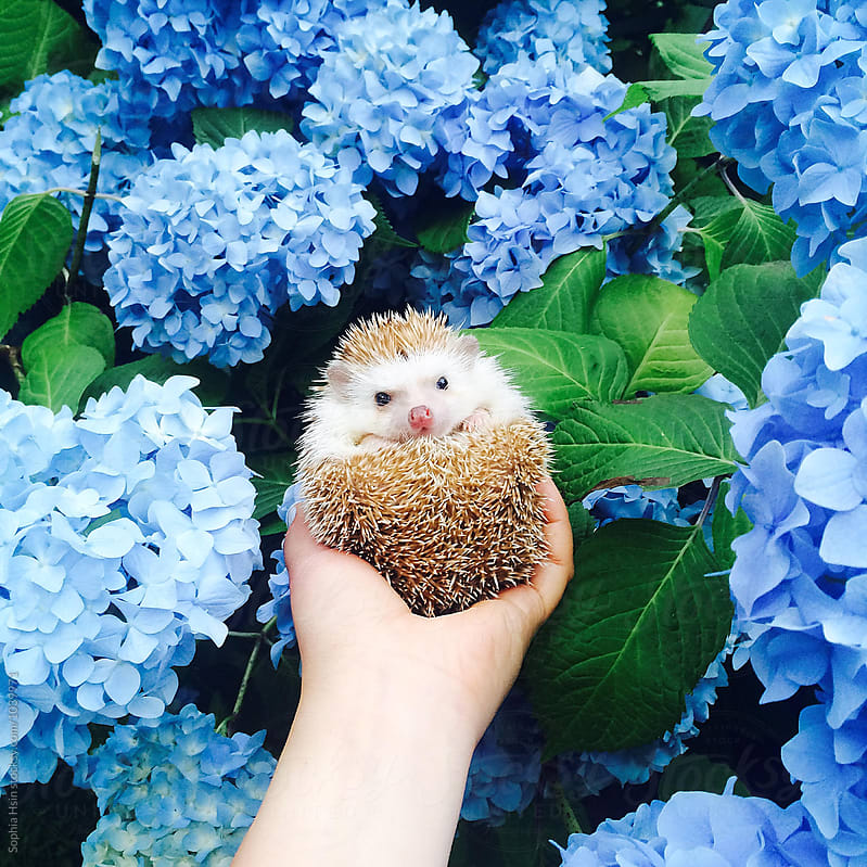 Hedgehog and Hydrangeas by Sophia Hsin for Stocksy United