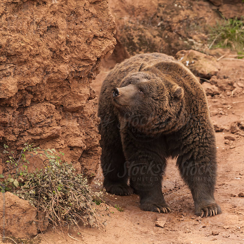 Adult brown bear looking up by Marilar Irastorza for Stocksy United