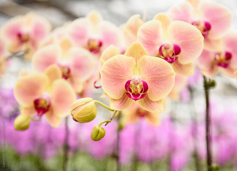 Moth orchid in bulk for sale by Lawren Lu for Stocksy United