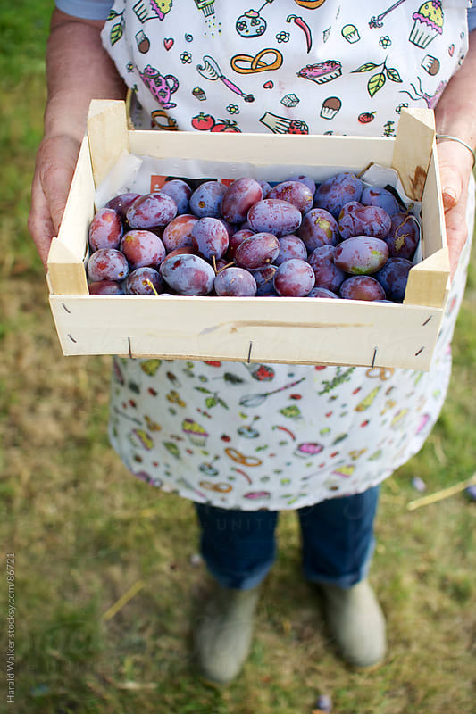 Box of plums by Harald Walker for Stocksy United