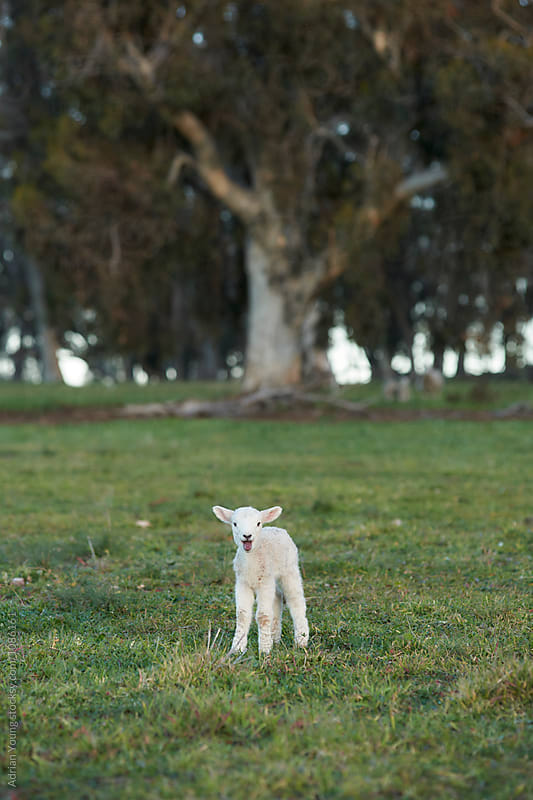 Lamb Bleating by Adrian Young for Stocksy United