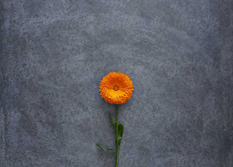 Calendula flower on concrete surface by Trinette Reed for Stocksy United
