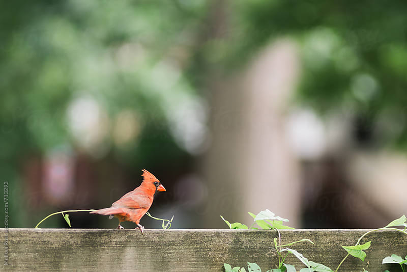 Male cardinal perched on an ivy covered fence. by Melissa Ross for Stocksy United