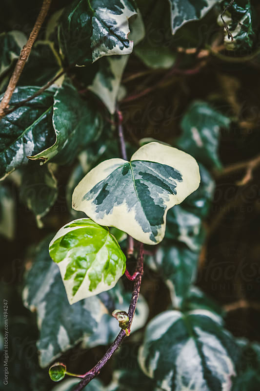 Ivy Leaves Closeup by Giorgio Magini for Stocksy United