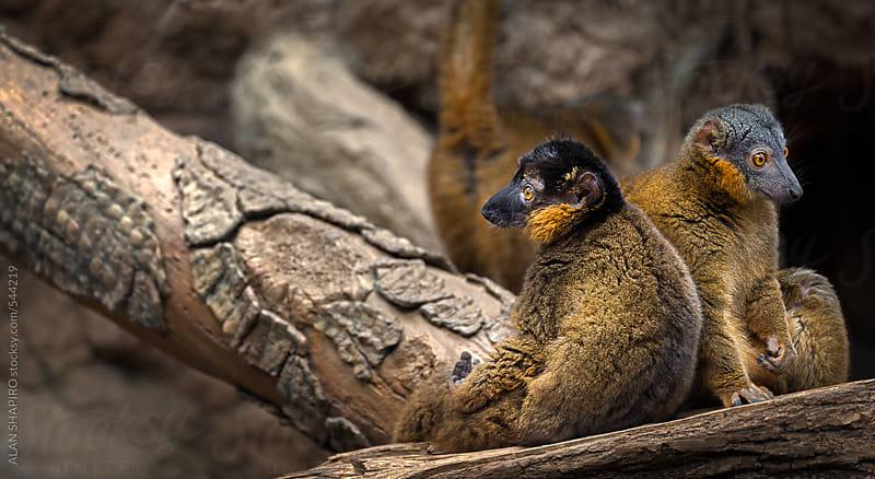 lemurs languishing on a log by ALAN SHAPIRO for Stocksy United