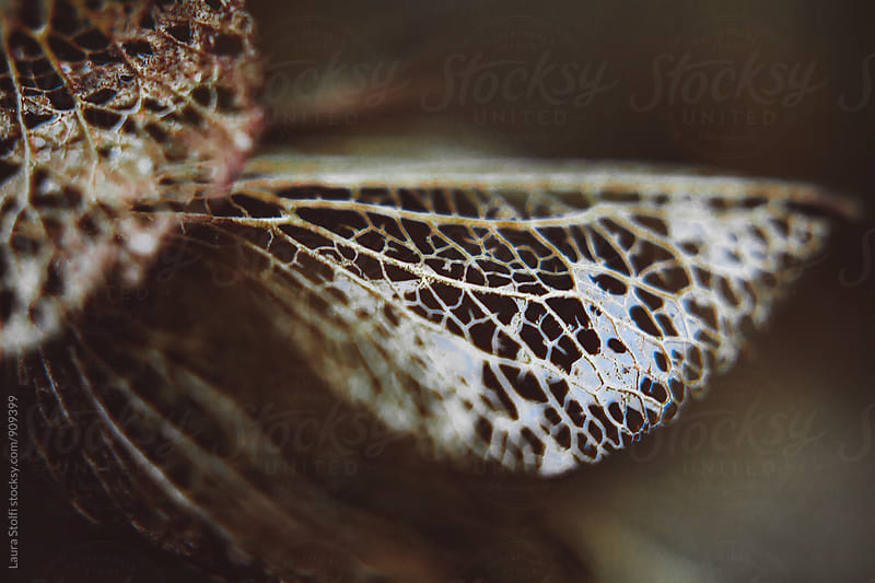 Macro catch of web like bronze hydrangea petal by Laura Stolfi for Stocksy United